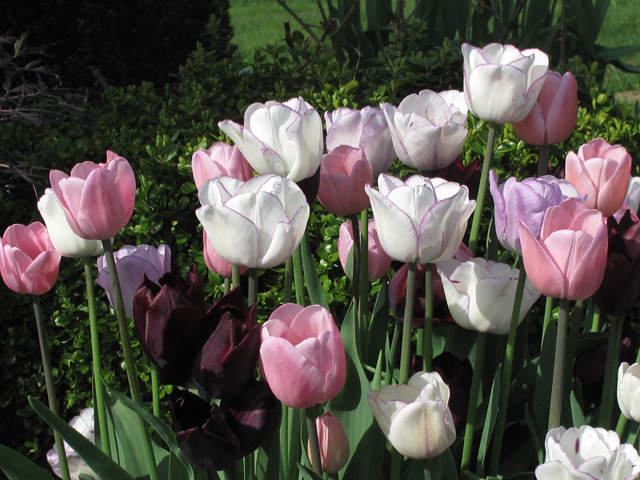 tulpen tulipa tulip tulipan tulp hortulus uphoff. Black Bedroom Furniture Sets. Home Design Ideas