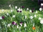 Preview: Narcissus poeticus 'Actaea' - Dichter-Narzisse