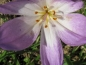 Preview: Colchicum speciosum ' The Giant' - Herbst-Zeitlose