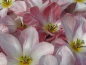 Preview: Tulipa fosteriana `Flamming Purissima´