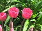 Preview: Tulipa 'Barcelona' - Triumph-Tulpe
