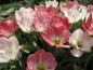 Preview: Tulipa 'Flaming Purissima' - Fosteriana-Tulpe