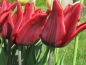 Mobile Preview: Tulipa 'Lasting Love' - Lilienblütige Tulpe