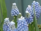 Preview: Muscari Valerie Finnis