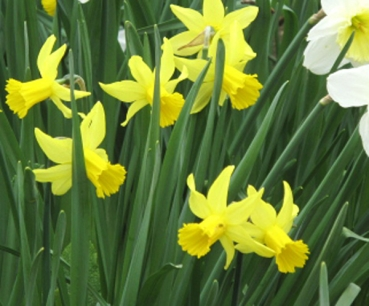 Narcissus 'February Gold' - Cyclamineus-Narzisse