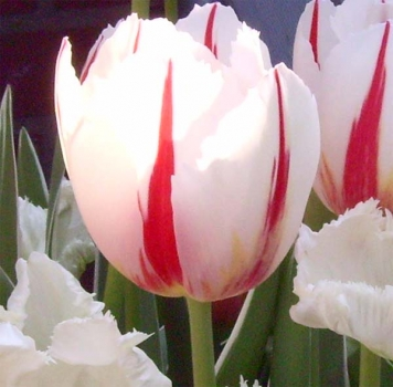 Tulipa 'Happy Generation' - Triumph-Tulpe