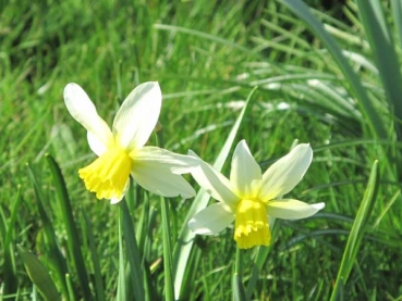 Narcissus 'Jack Snipe' - Cyclamineus-Narzisse