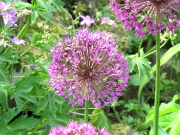 Allium aflatunense 'Purple Sensation' - Purpur-Kugel-Lauch
