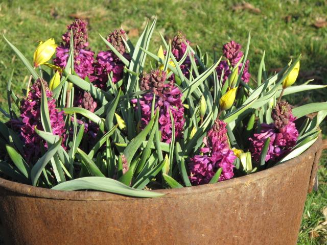 hyacinthus orientalis 39 woodstock 39 hyazinthe hortulus uphoff. Black Bedroom Furniture Sets. Home Design Ideas