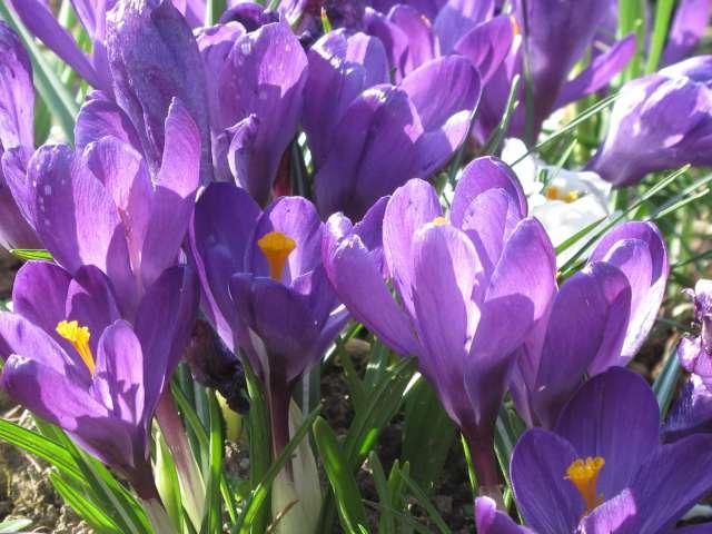 Bildergebnis für Krokusse Flower Record