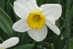 Narcissus 'Flower Record' - Großkronige Narzisse