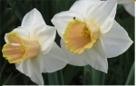 Narcissus 'Salome' - Großkronige Narzisse